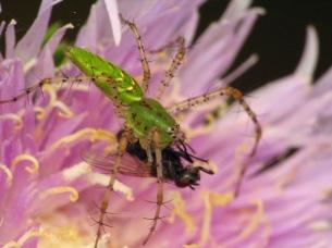Green Lynx_159654156_l