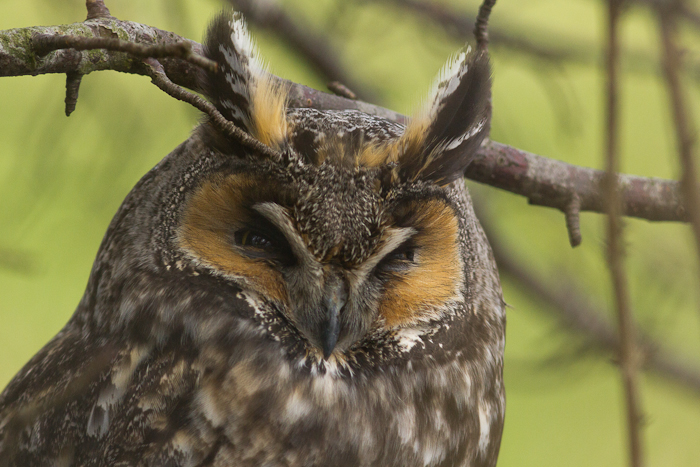 A beautiful Long-Eared Owl! One of three we saw, perched together over a ditch.