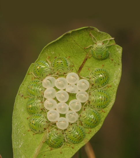 Roving out. Pentatomid nymphs on Brazilian Peppertree leaf.