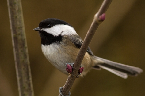 Chickadees, entertaining as ever.