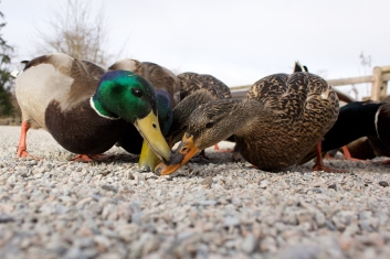 In retrospect, the Sandhills and these low angle mallard shots were probably the most unique bird images to be had at the sanctuary...