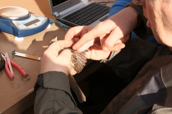 examining the plumage for molt limits (this is how birds are aged)