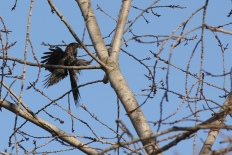a filthy young Coopers hawk with a full crop