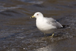Ring-billed Gulls have such pretty eyes.