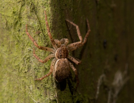 here is a plain-jane shot of a Philodromid (Running Crab Spider)
