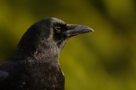 Further crow portraiture