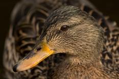 Duck Detail