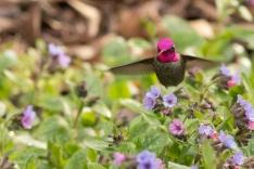 Anna's Hummingbird feeding low