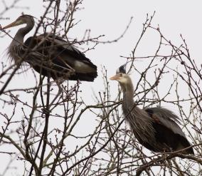 herons get a bit crazy..