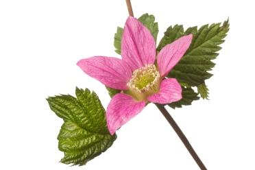 MYN Salmonberry.