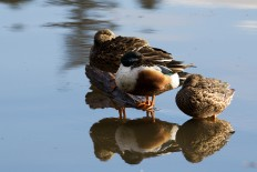 Three Northern Shovelers chill in Lost Lagoon.