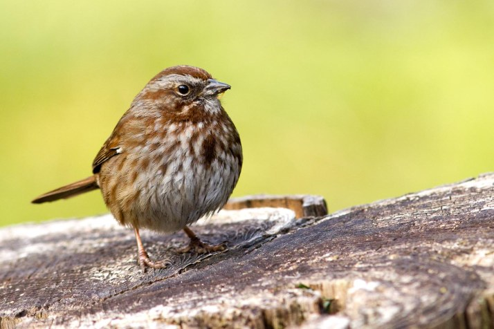 This Song Sparrow knows where it's at.