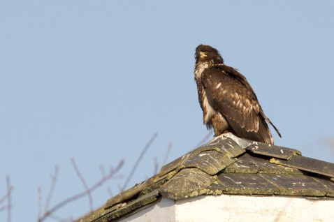 Boundary Bay is still loaded with eagles, but mostly immatures like this one.