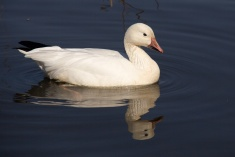 This Snow Goose has taken a shine to a Canada Goose at Burnaby Lake.