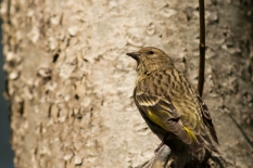 Sleepy Pine Siskin