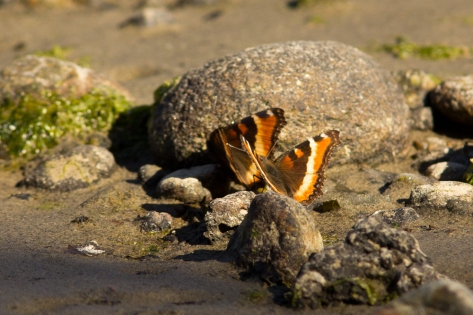 Milbert's Tortoiseshells on the mudflats