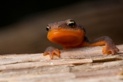 Rough-skinned Newt!