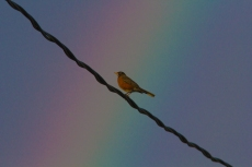 Juxtaposition of a rainbow and a robin.