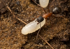 My shots of a Camponotus ant colony...Myrmecos here I come!