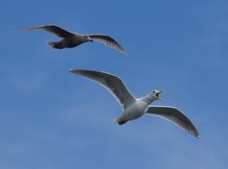 Gulls near Ogden Point.