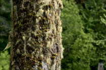 Epiphytic growth on a fir.
