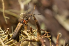 Soldier Beetle.