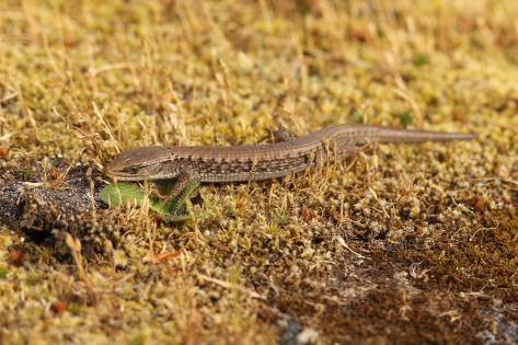 A Northern Alligator Lizard at Mt. Tolmie.