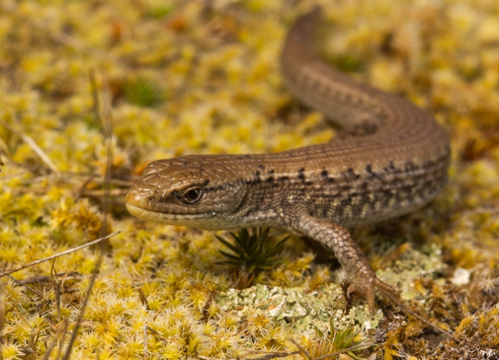 A beautiful Northern Alligator Lizard