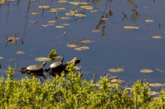 Western Painted Turtles (I presume) sunning.