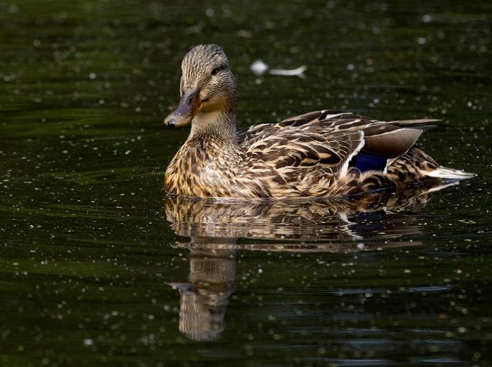 duckdate
