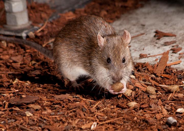 More Rats!_5959724887_l
