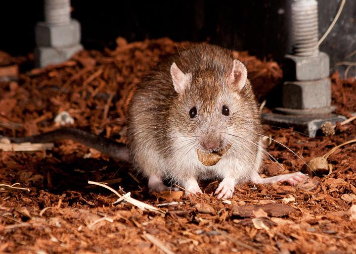 More Rats!_5959739615_l