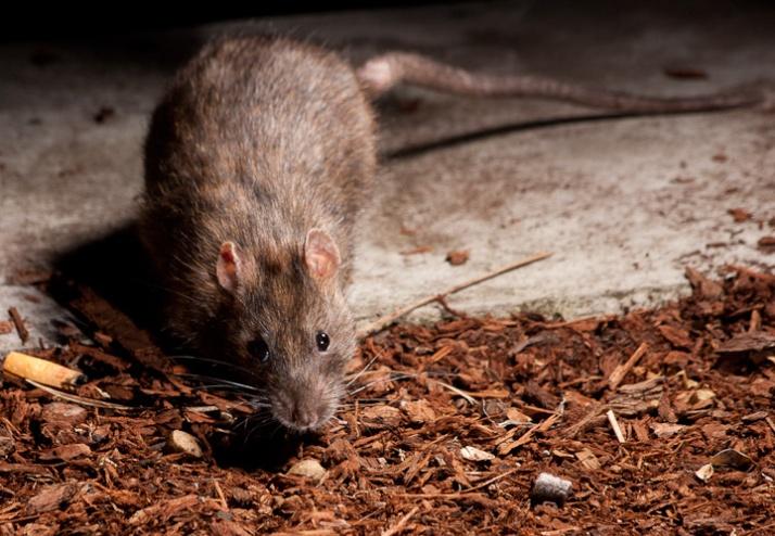 More Rats!_5960278204_l
