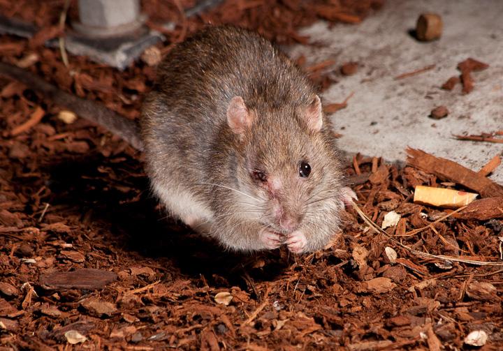 More Rats!_5960291608_l