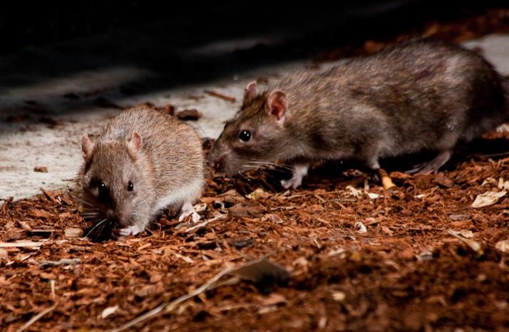Rats at Commercial Drive_5956413839_l