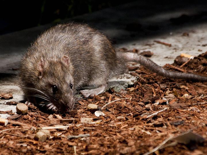 Rats at Commercial Drive_5956981674_l