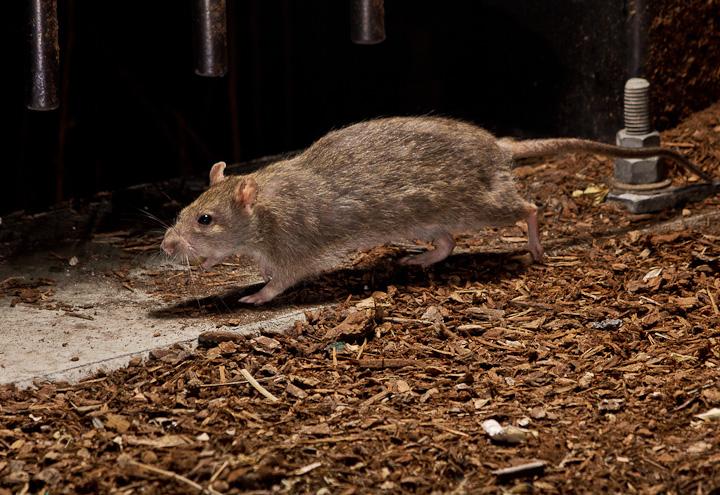 Rats at Commercial Drive_6095205769_l