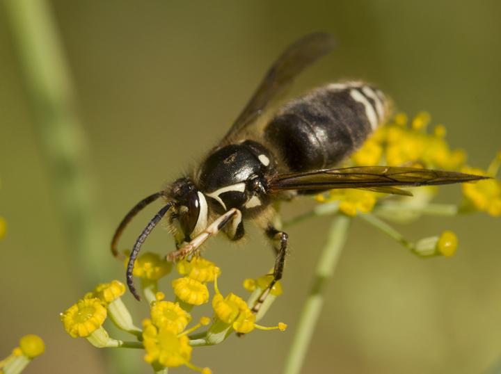 maculata